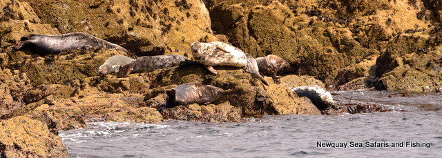 Grey Seals Hauled out