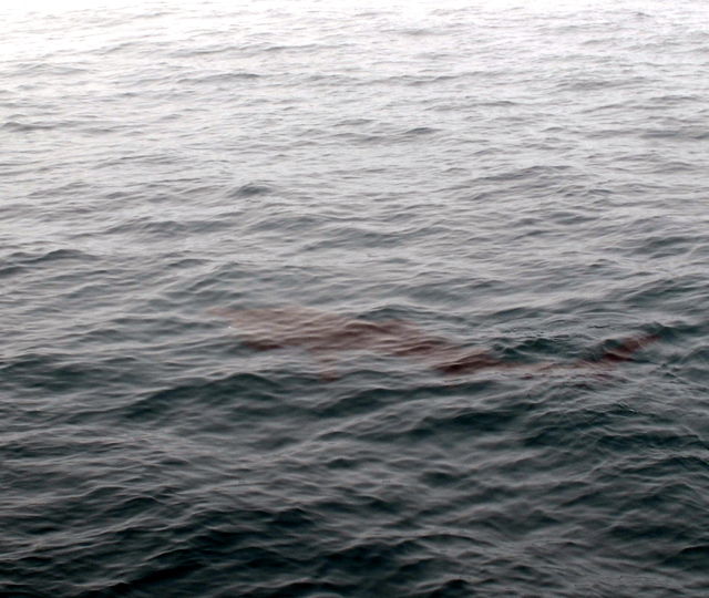 Basking Shark in Cornwall Tagging Program swimming just below the surface of sea