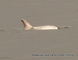 Very Pale Risso's Dolphin scarred across Dorsal Fin