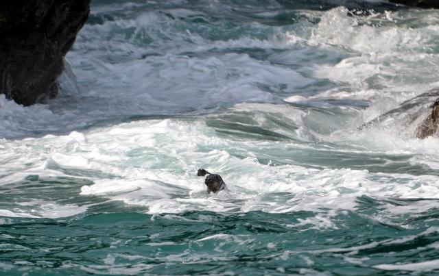 Grey seals foraging around rocks