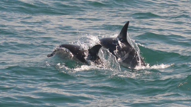 Dolphins-creating-huge-splash-as-they-hydro-plane-feeding-on-surface-sand-eels-off-Newquay