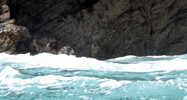 Grey Seal seen from Newquay Sea Safaris