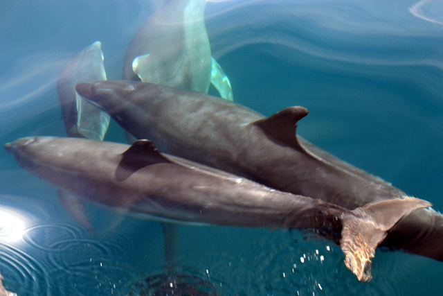 """Stunning visibility allowed us to view layers of Bottlenose Dolphins from the bow of """"Atlantic Diver"""""""