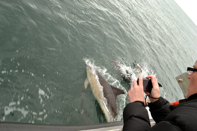 "Newquay Dolphin looking right back at Amy over  bow of ""Alantic Diver"""
