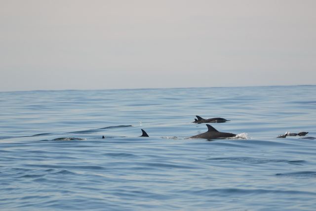 A Pod of Common Dolphins with a Nursery of Calves swim past Atlantic Diver
