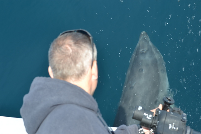 "Divers watching Bottlenose Dolphins from bow of ""Atlantic Diver"""