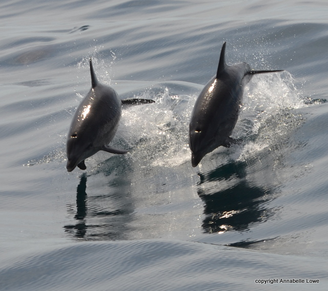 Bottlenose Dolphins race over to Atlantic Diver, porpoising out of the water to gain speed