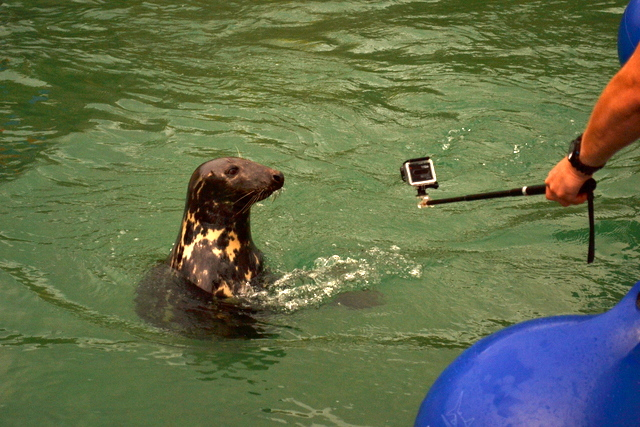 Trunk Newquay Grey Seal comes over to investigate camera