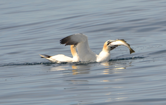 Gannets fighting over an escaped Pollack