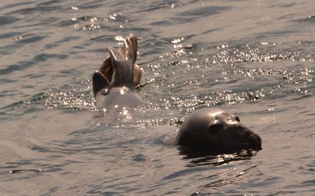 Seal Bananaing during Newquay Sea Safaris and Fishing Sea Safari
