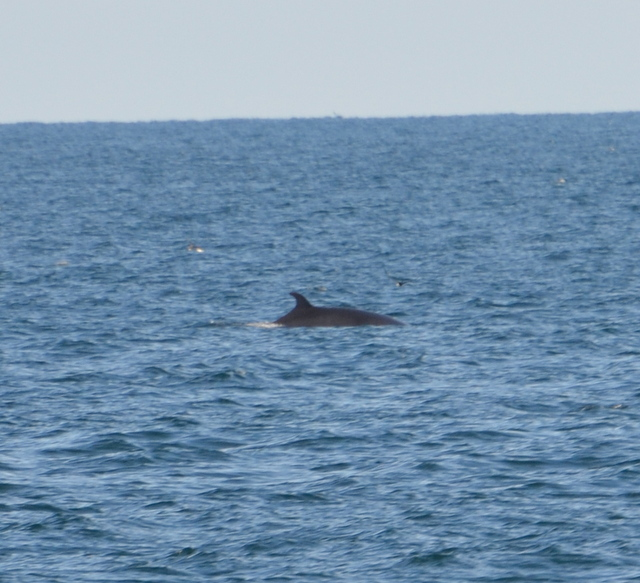 Fin Whale watching aboard Atlantic Diver