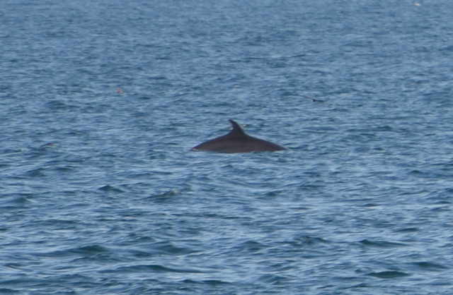 Fin Whale surfacing near Atlantic Diver