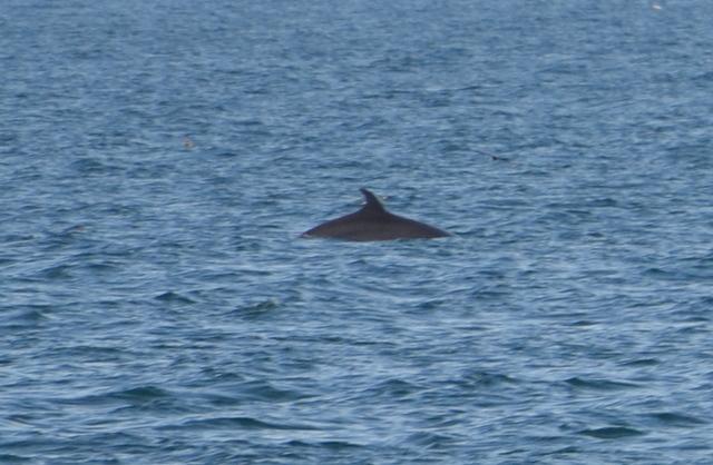 Fin Whale surfacing near Atlantic Diver