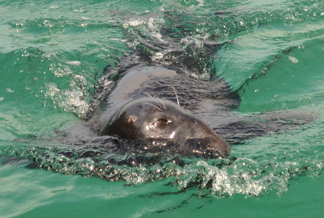 Semi resident seal in Newquay harbour ..looks like Bolt or Splash