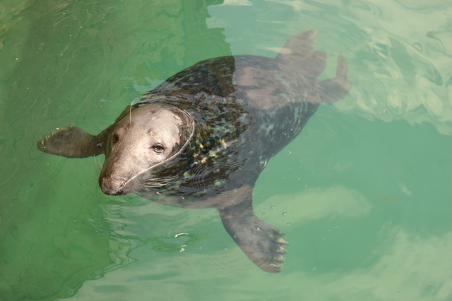 Grey Seal semi resident to Newquay Harbour