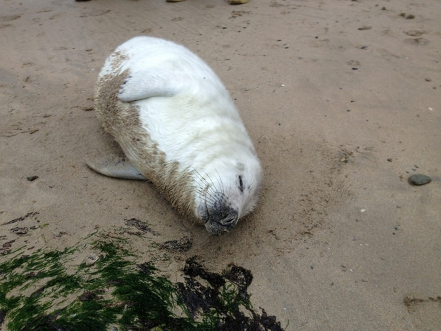 Cute Whitecoat Seal Pup rescued