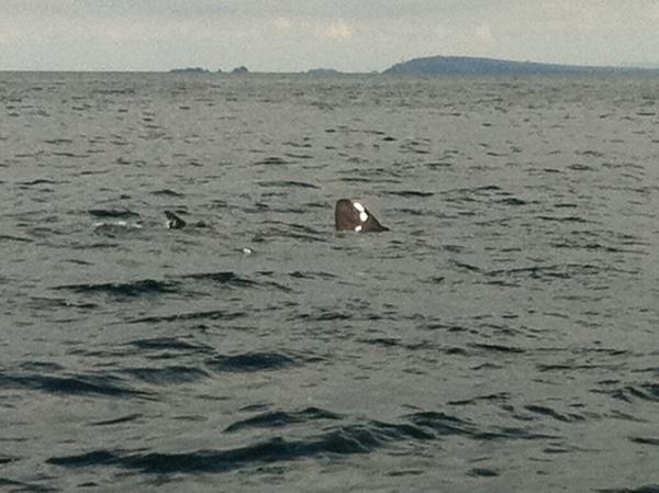 Large Basking Shark dorsal fin and tail fin