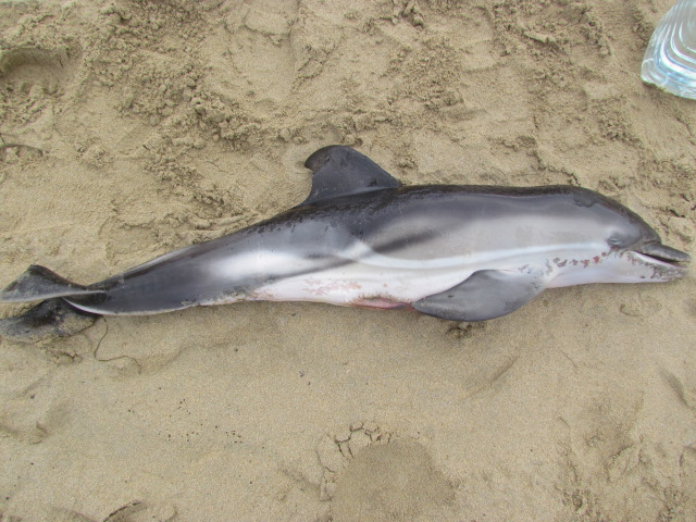 Dead Juvenile Common Dolphin...sadly possible bycatch