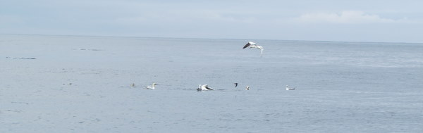 Rubby Dubby attracts Gannets and Storm Petrels