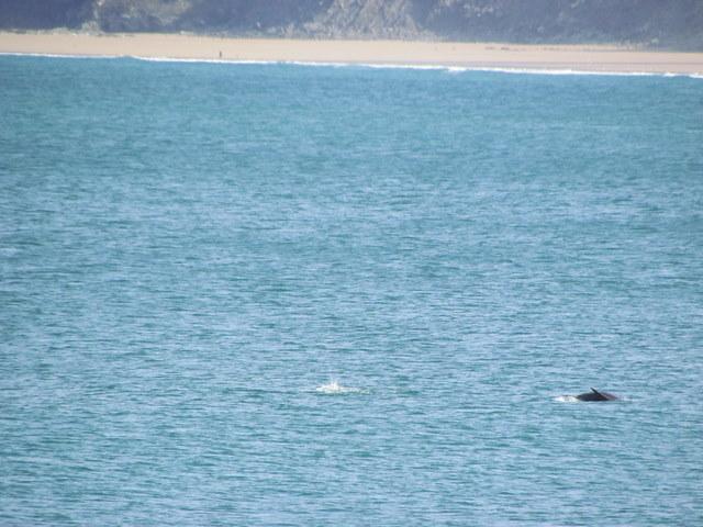 Bottlenose Dolphin herding fish