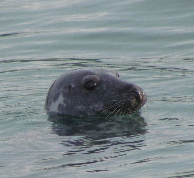 """Radley"" the new juvenile seal"