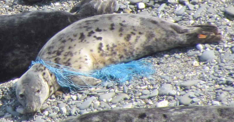 "Net Entangled Grey Seal called ""Ugg"""