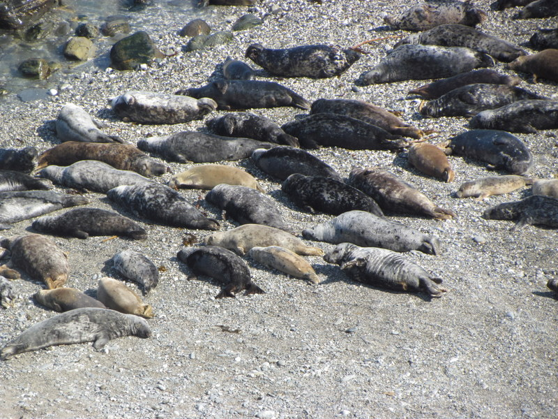 Grey Seals Haul out on Beach with Net Entangled Seal