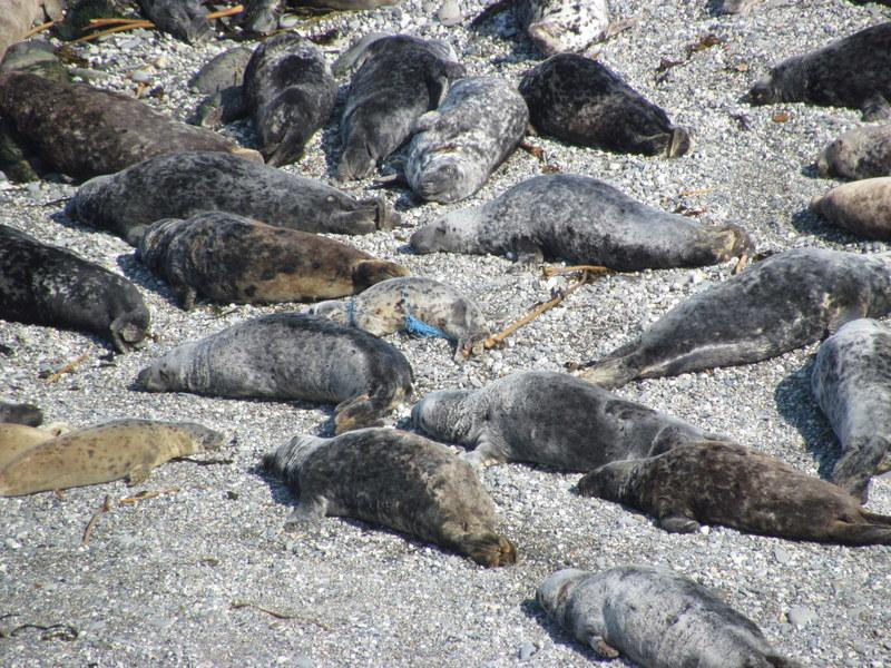 Net Entangled Juvenile Seal resting on beach