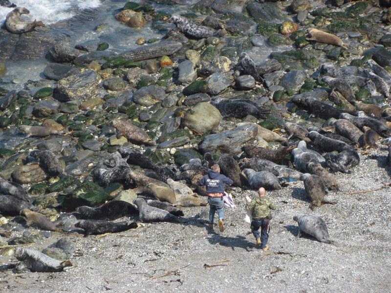 Marine Mammal Medics pick there way through a group of Grey Seals