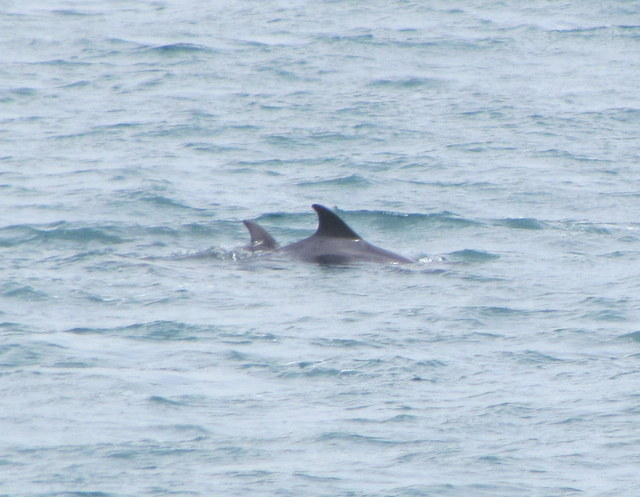 Bottlenose Dolphins..Mother and last years Calf feeding off Newquay