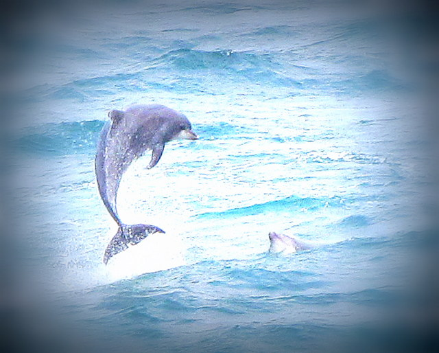 Bottlenose Dolphin Newquay Bay