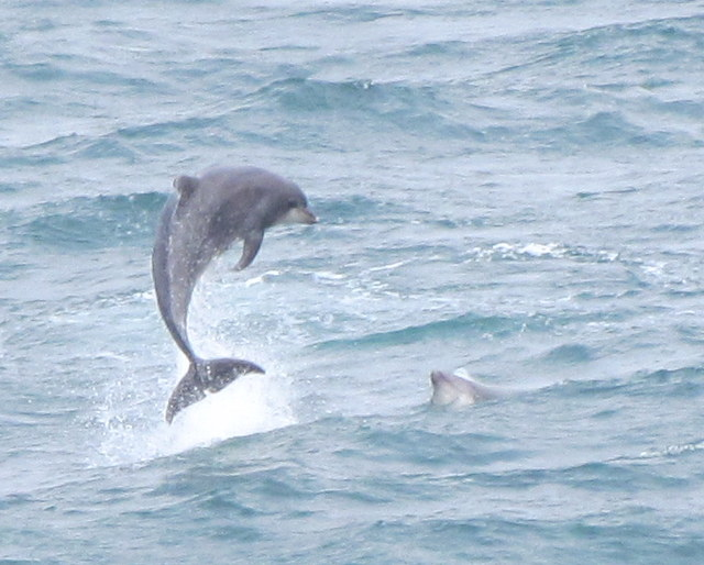 "Bottlenose Dolphins Porpoising out of the sea spotted from"" Atlantic Diver"""