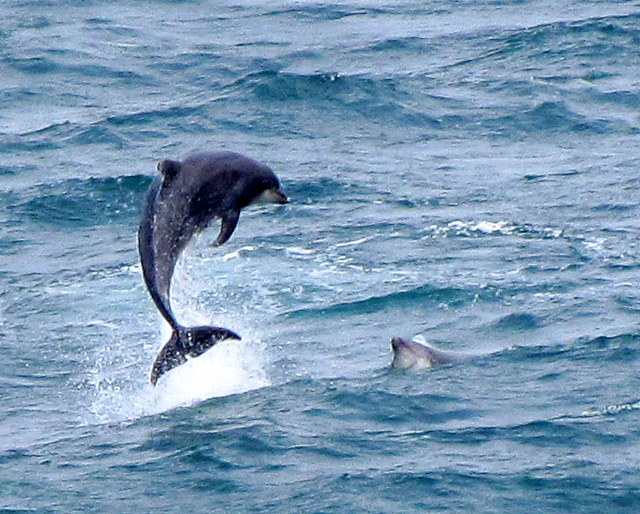 Bottlenose Dolphins in Newquay Bay , Newquay Sea Safaris Boat Trip aboard Atlantic Diver