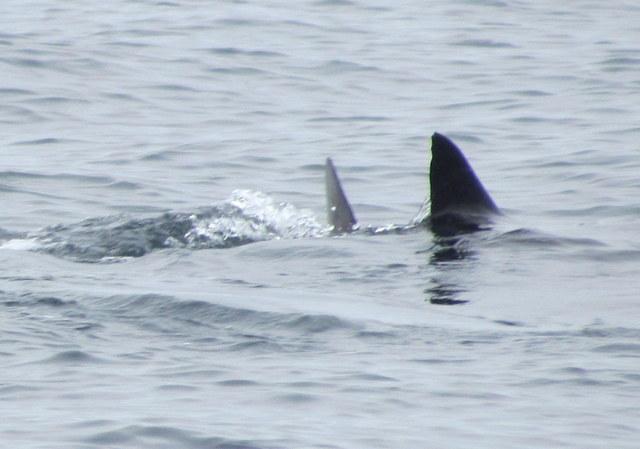 Caudal and Dorsal Fin visible as Basking Shark feeds at Surface