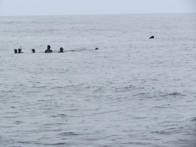 "Basking Shark approaching Snorkellers on Atlantic Diving ""Snorkelling with Basking Shark Trip"""