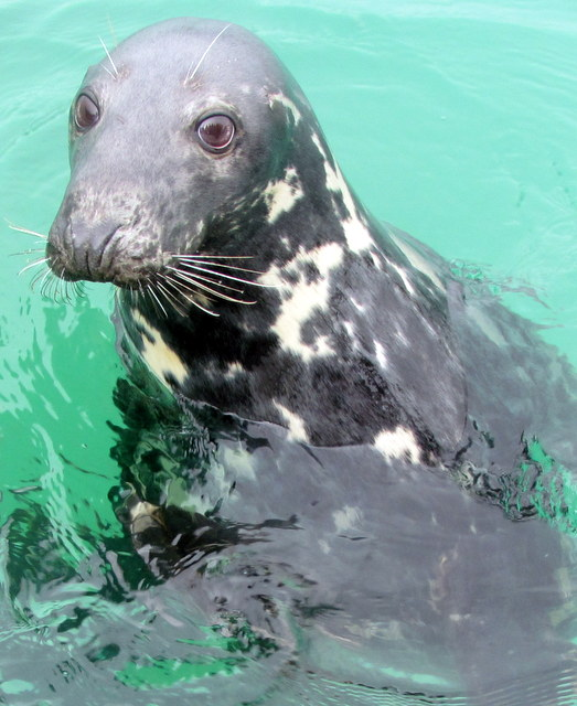 """""""Trunk"""" a beautiful Grey Seal Semi- resident to Newquay"""