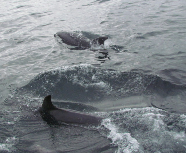 Pod of inshore Bottlenose Dolphins with Juveniles