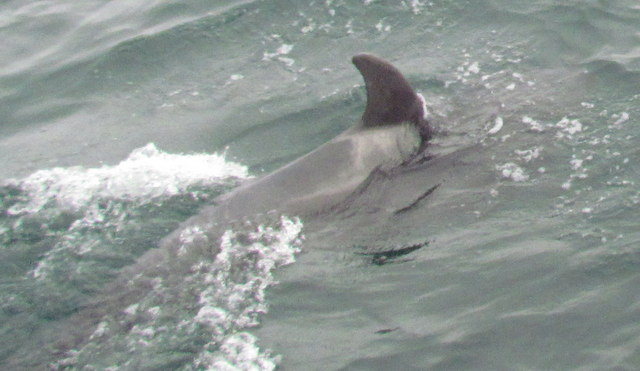 Juvenile Bottlenose Dolphin just off Newquay