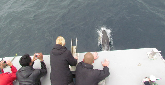 Pods of Common Dolphins deep sea off Newquay