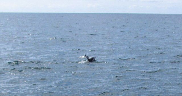More pods of Common Dolphins actively hunting off Newquay