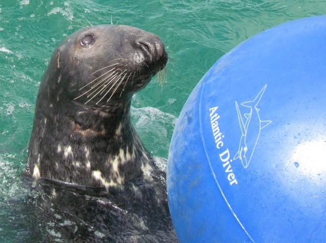 Medallion Man Newquay Grey Seal