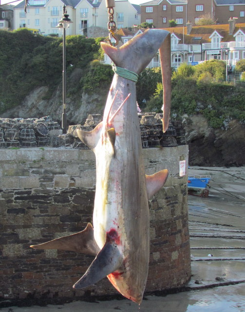 Thresher Shark Newquay Harbour
