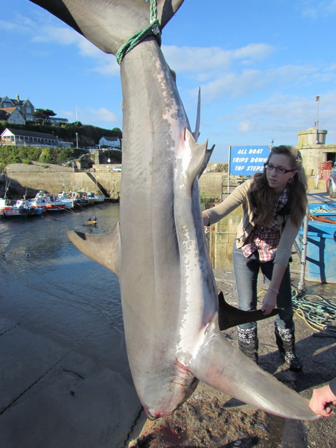 Thresher Shark bycaught off Tintagel 3.6m long next to Tabbie from Newquay Sea Safaris and fishing