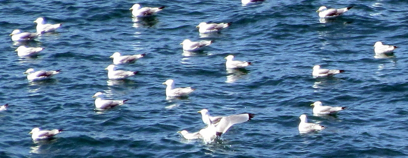 Kittiwakes sitting in a large raft together and feeding in wake of boats