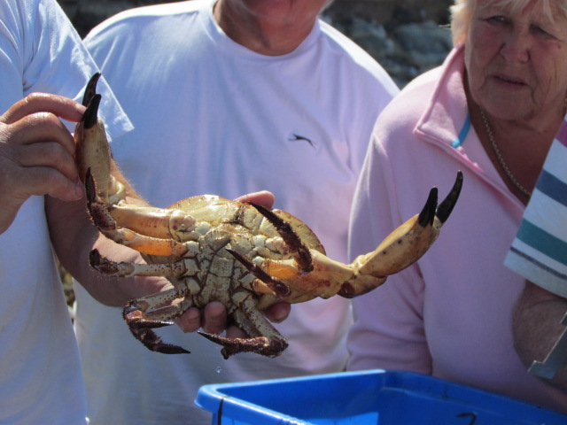 Potting Fisherman show us a very large Edible Crab