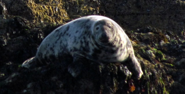 Pregnant Female Grey Seal