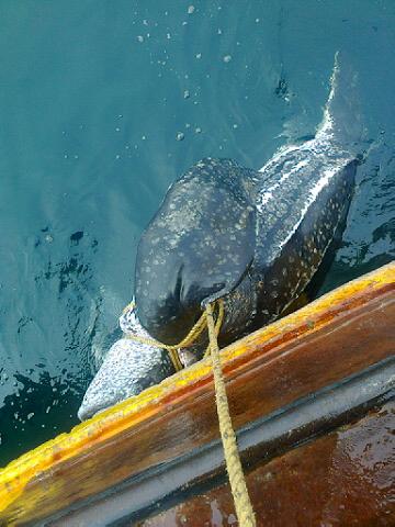 Rare Leatherback Turtle