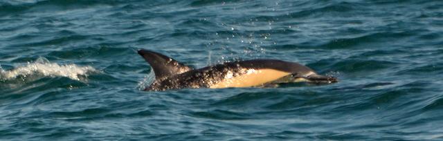 beautiful-common-dolphin-feeding-off-Newquay