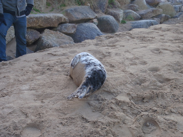 injured and dehydrated seal pup