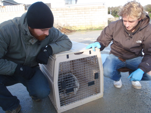 seal pup safely in animal box for transport to vet